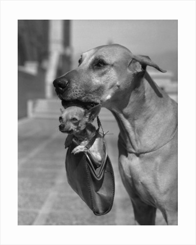 Great Dane Holding Chihuahua in Purse by Corbis
