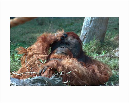 Orangutan in Unusual Pose by Corbis