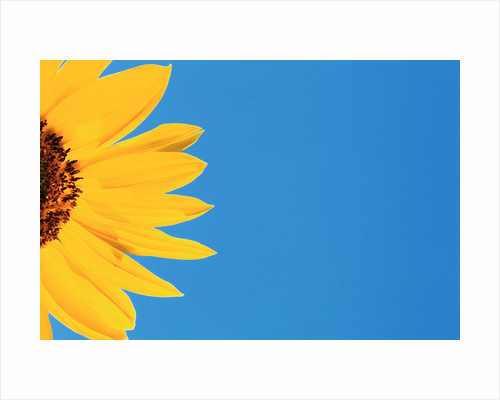 Sunflower and Blue Sky by Corbis