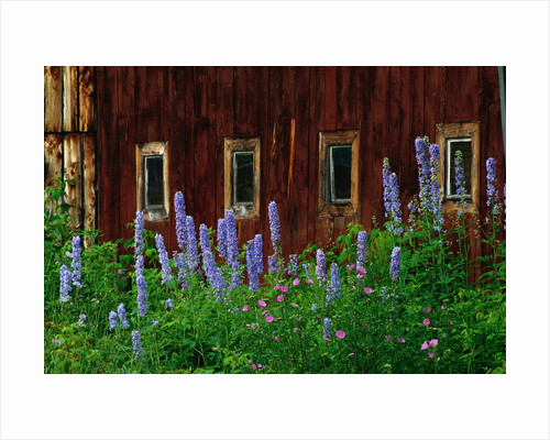 Delpinium Blooms Next to a Barn by Corbis