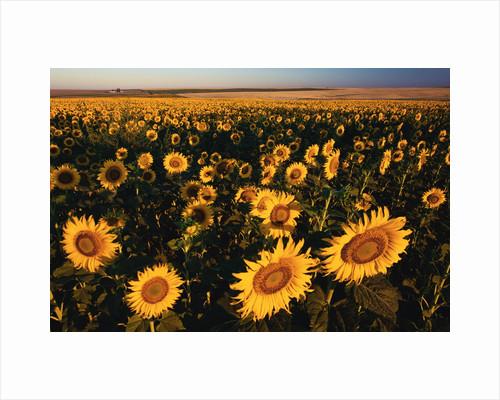 Morning Light on a Sunflower Field by Corbis