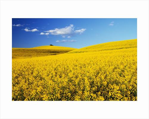 Canola Field in Bloom by Corbis