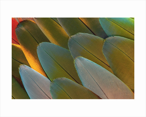 Close-up of Parrot Feathers by Corbis