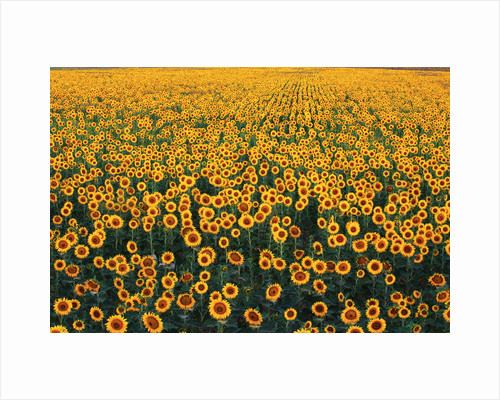 Sunflower Field in Bloom by Corbis