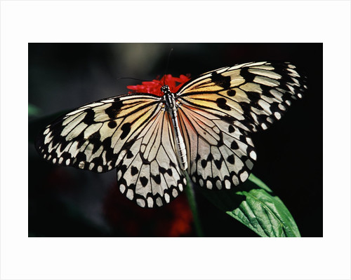 Butterfly with Wings Outstretched by Corbis