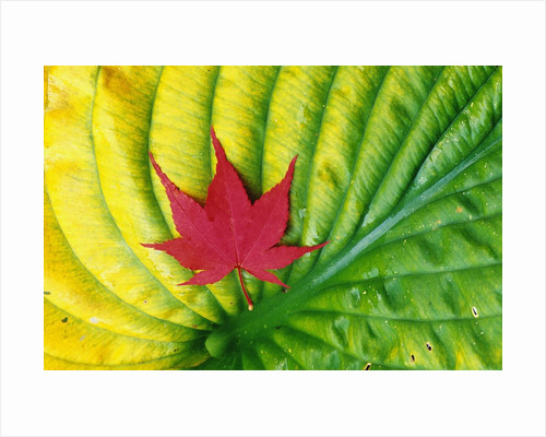 Japanese Maple Leaf on a Hosta Leaf by Corbis