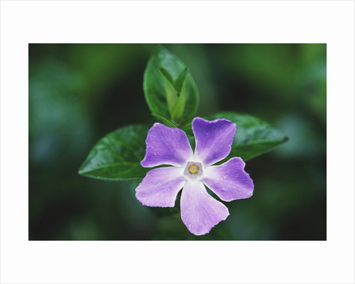 Periwinkle in Japanese Gardens by Corbis