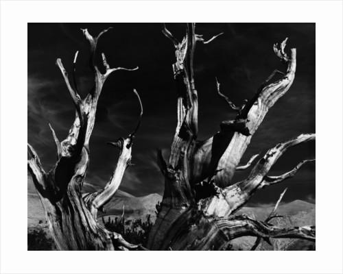 Dead Tree in the Desert by Corbis