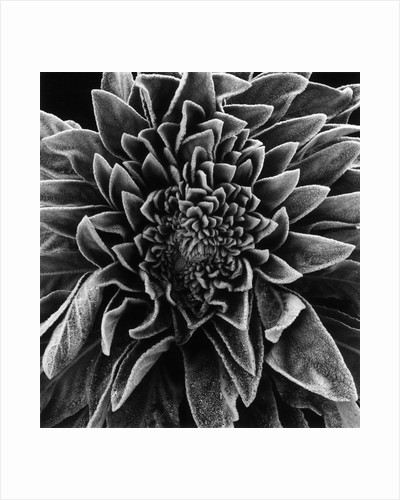 Velvet Leaved Plant by Brett Weston