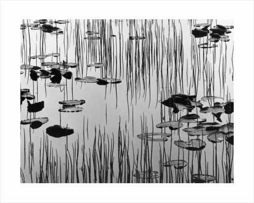 Reeds and Lily Pads by Corbis