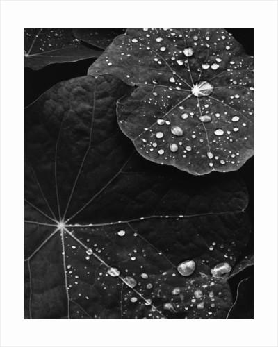 Water Droplets on Nasturtium Leaves by Corbis