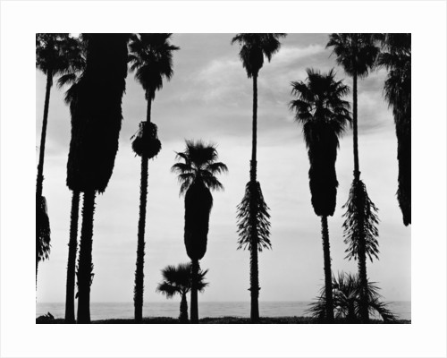 Palm Trees in Silhouette, California, 1958 by Corbis