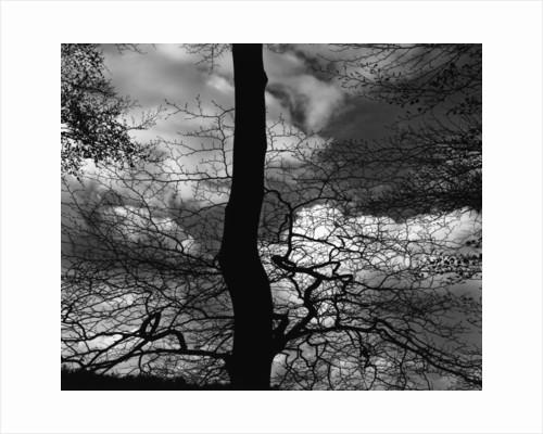 Tree Silhouette by Corbis