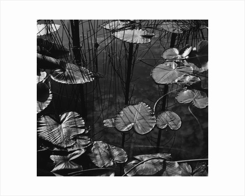 Lily Pond by Corbis