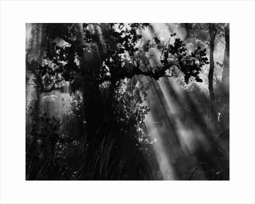 Sunbeams in Trees by Corbis