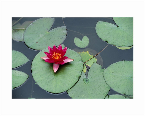 Blooming Water Lily at Heian Shrine by Corbis