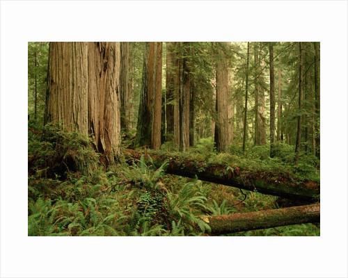 Redwood Trees by Corbis