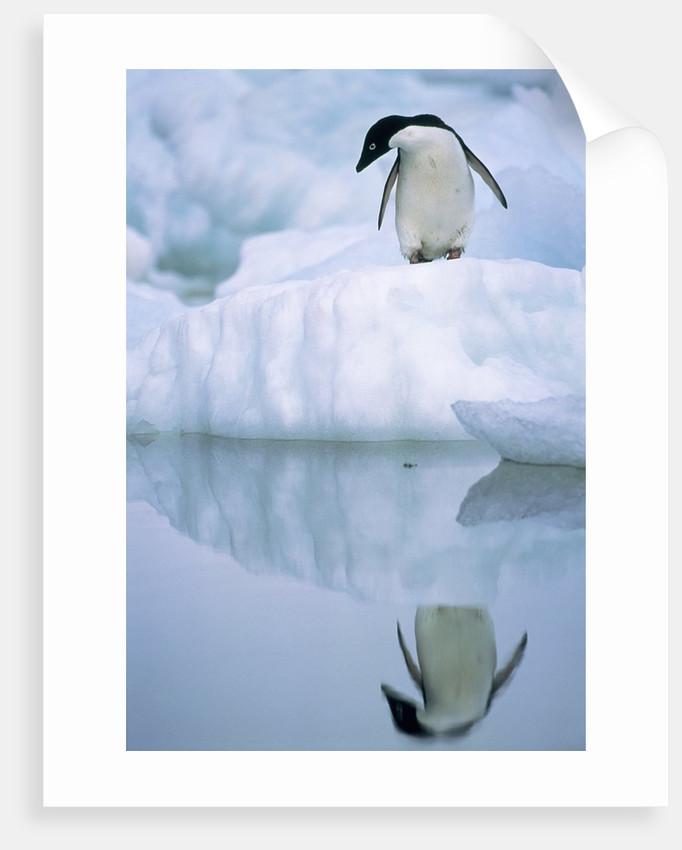 Adelie penguin on ice floe by Corbis