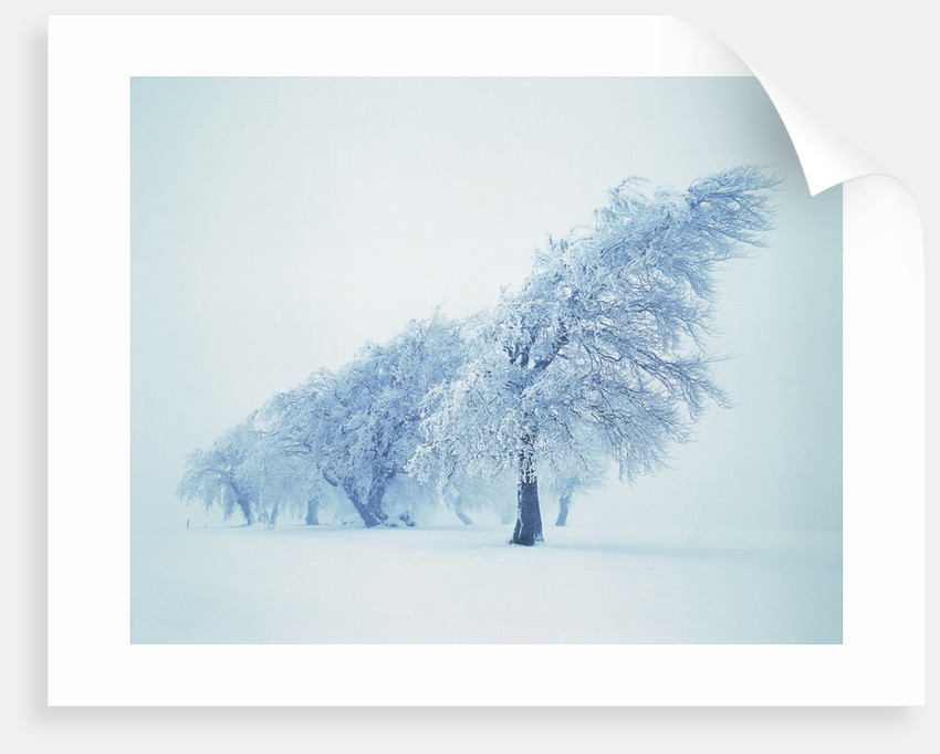 Beeches in the snow by Corbis