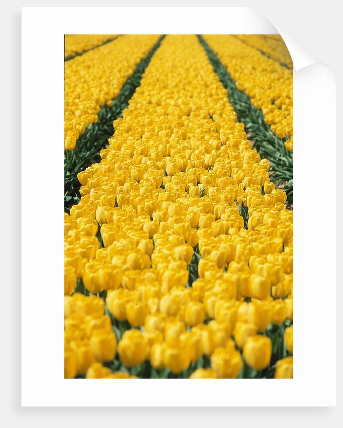 yellow tulipfield by Corbis