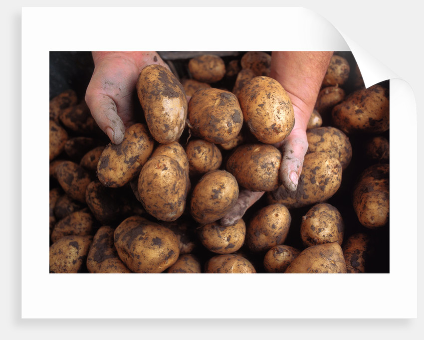 Potato harvest by Corbis