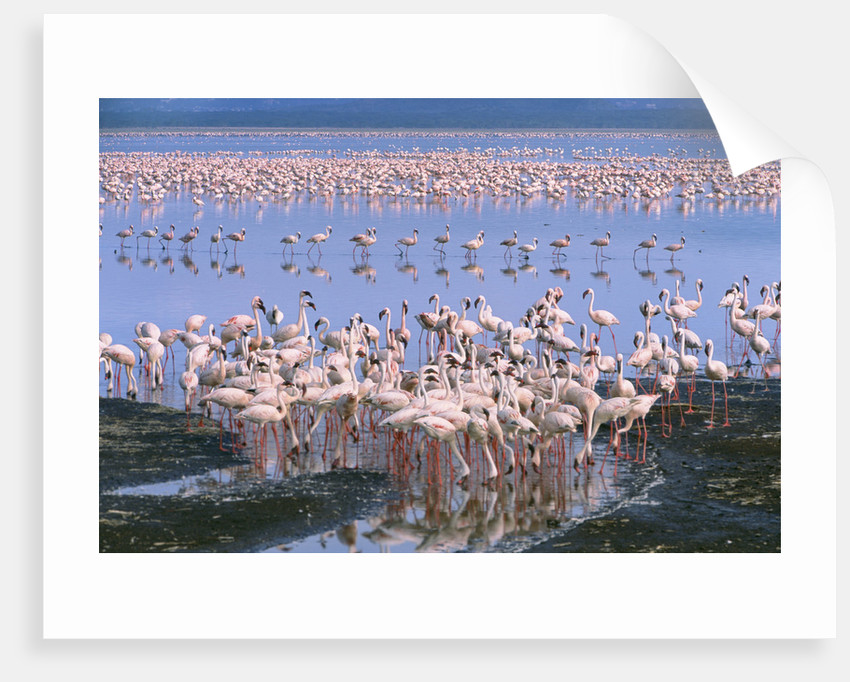 Flock of Lesser Flamingoes by Corbis