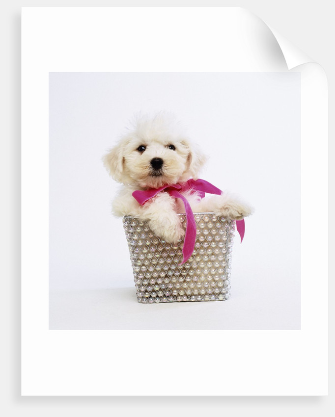 Bichon Frise Puppy by Corbis