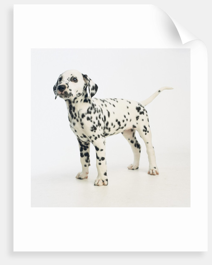 Dalmatian Puppy by Corbis