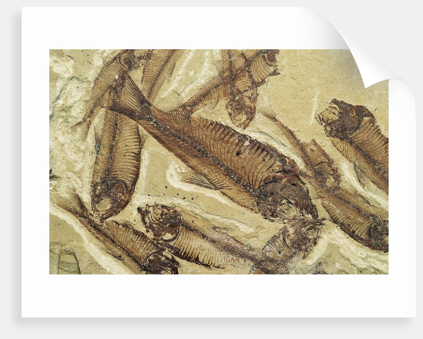 Fossilized Devonian Fish by Corbis