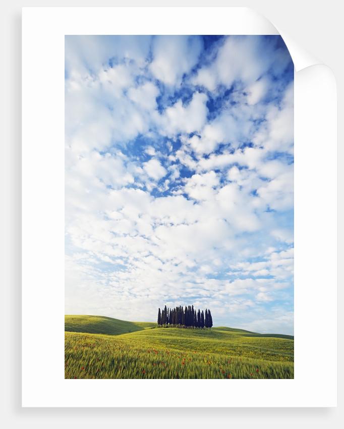 Italian Cypress Trees in Cornfield by Corbis