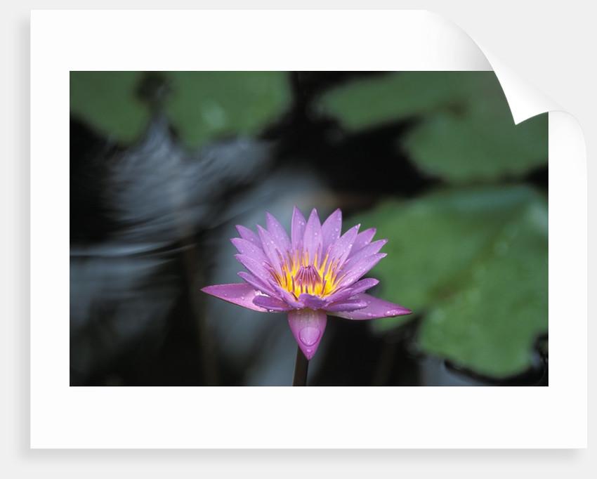 Lotus flower posters prints by corbis lotus flower by corbis mightylinksfo