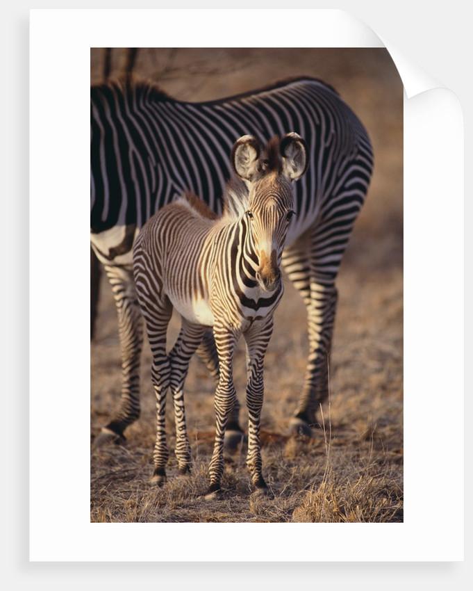 Baby Zebra by Corbis
