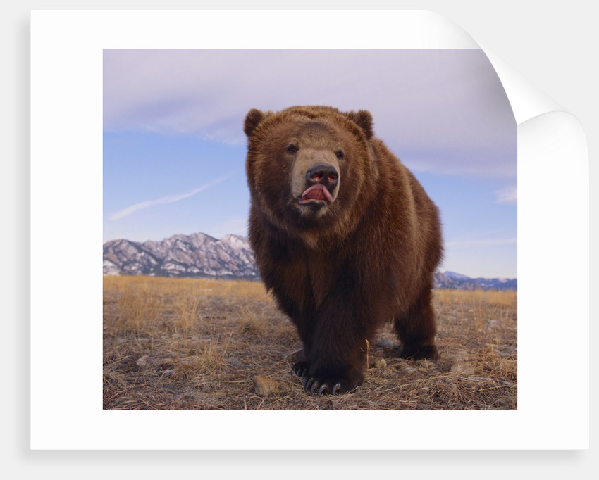 Grizzly Licking Its Chops by Corbis