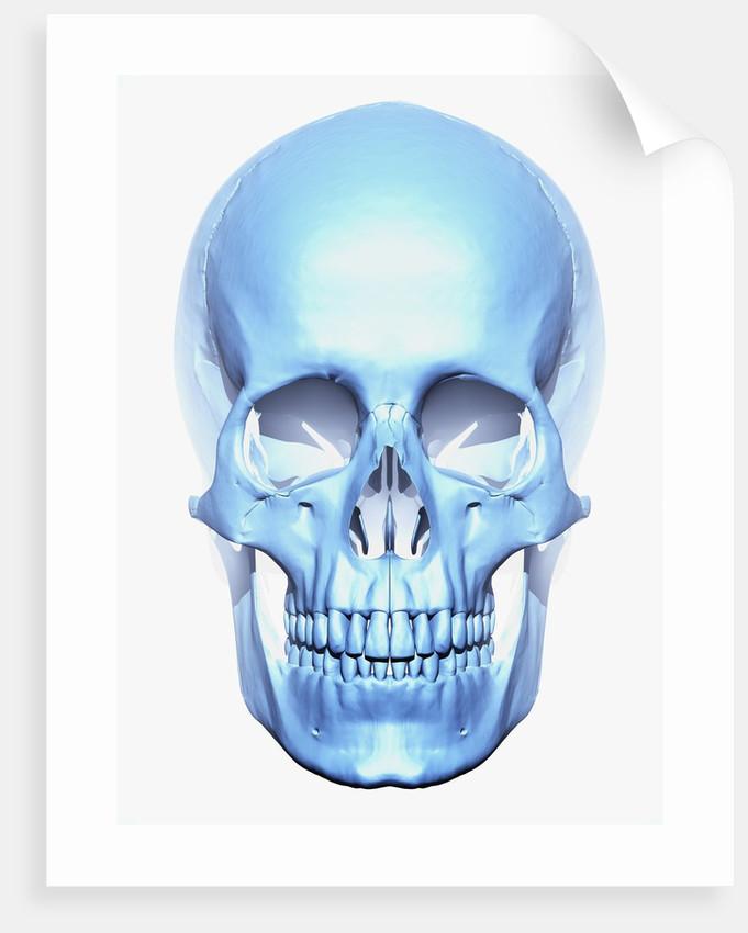 Skull by Corbis