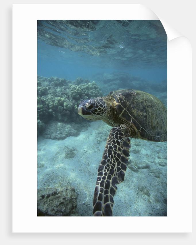 Green Sea Turtle Swimming by Corbis