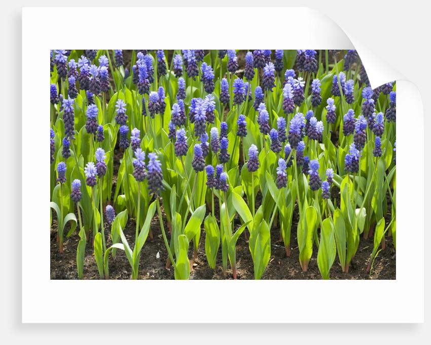 Grape Hyacinth by Corbis