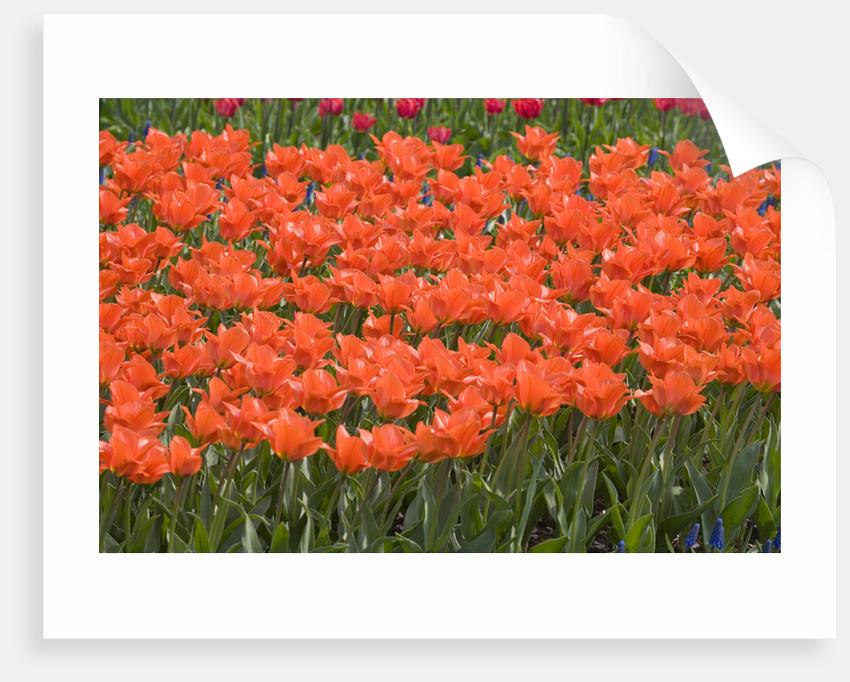 Atje Keulen Tulips by Corbis