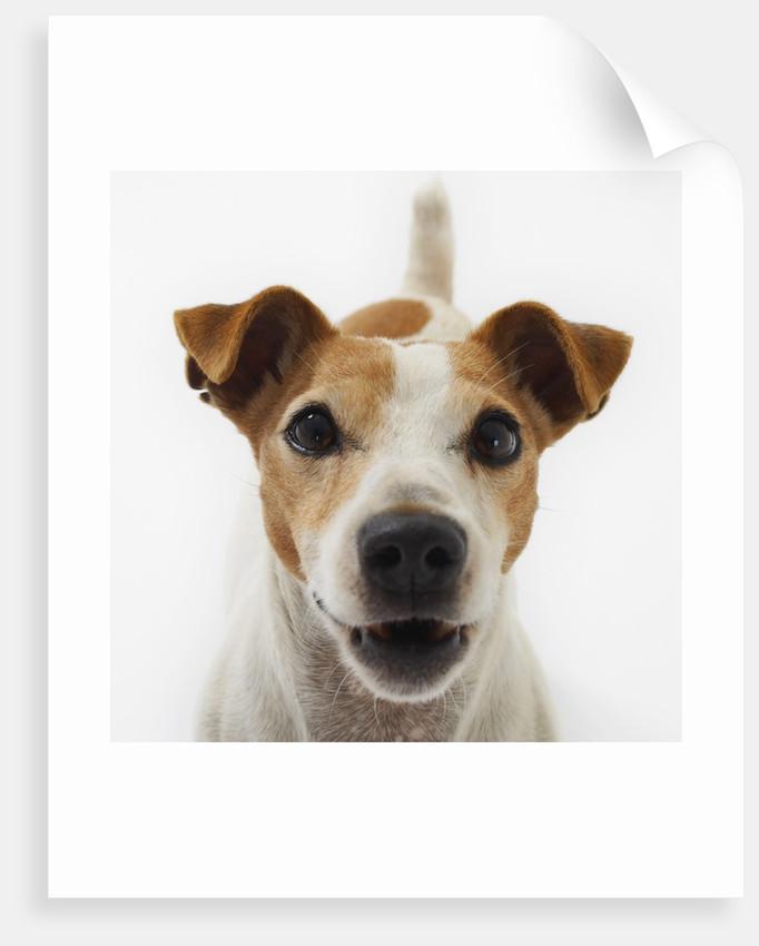 Jack Russell Terrier by Corbis