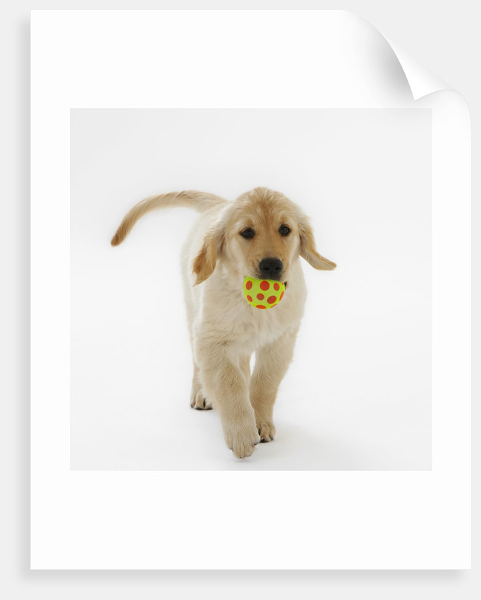 Golden Retriever Puppy Playing with Ball by Corbis