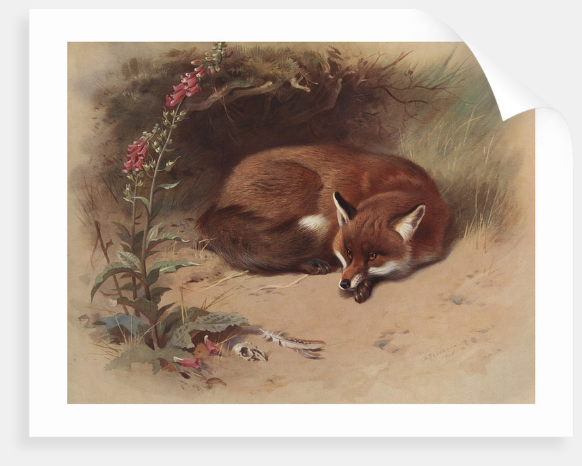 Canis Vulpes: The Fox by Archibald Thorburn