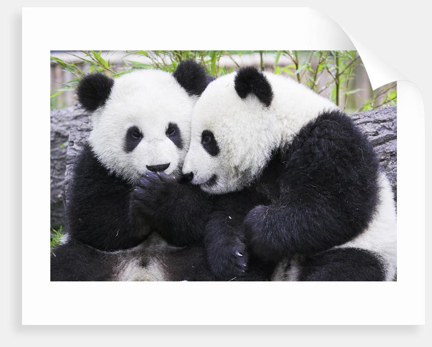 Two Panda Babies Interacting by Corbis