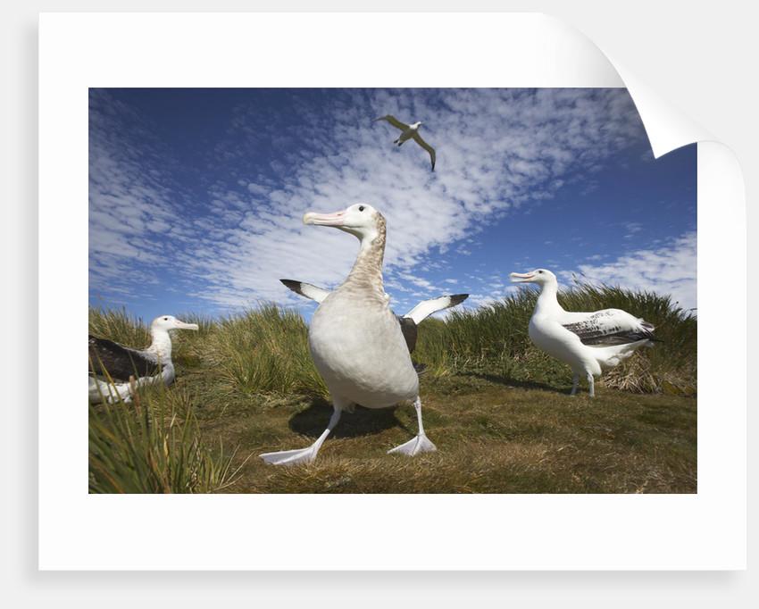 Wandering Albatrosses on South Georgia Island by Corbis