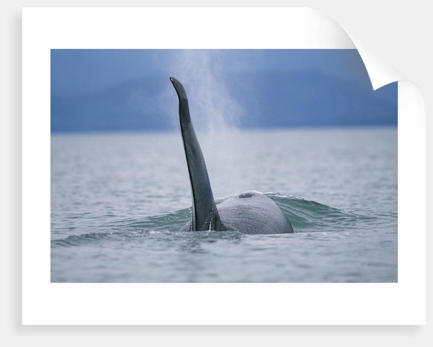Dorsal Fin of Orca Whale in Alaska by Corbis