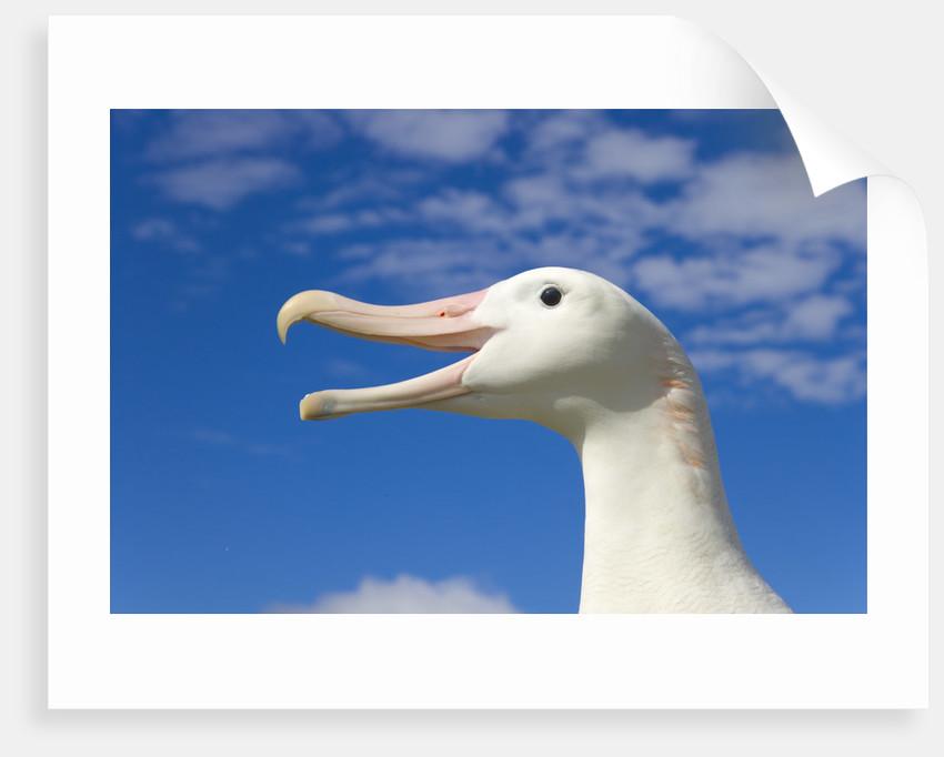 Wandering Albatross by Corbis
