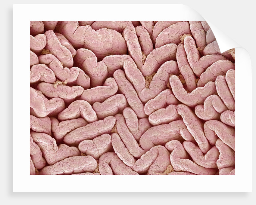 Duodenum Villi From A Rat Posters Prints By Corbis