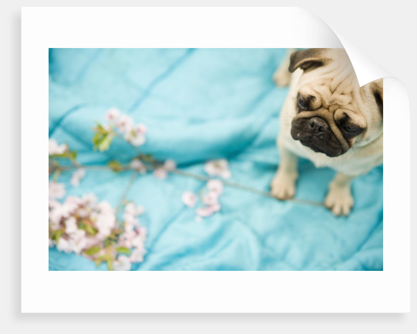 Pug on a Turquoise Blanket by Corbis