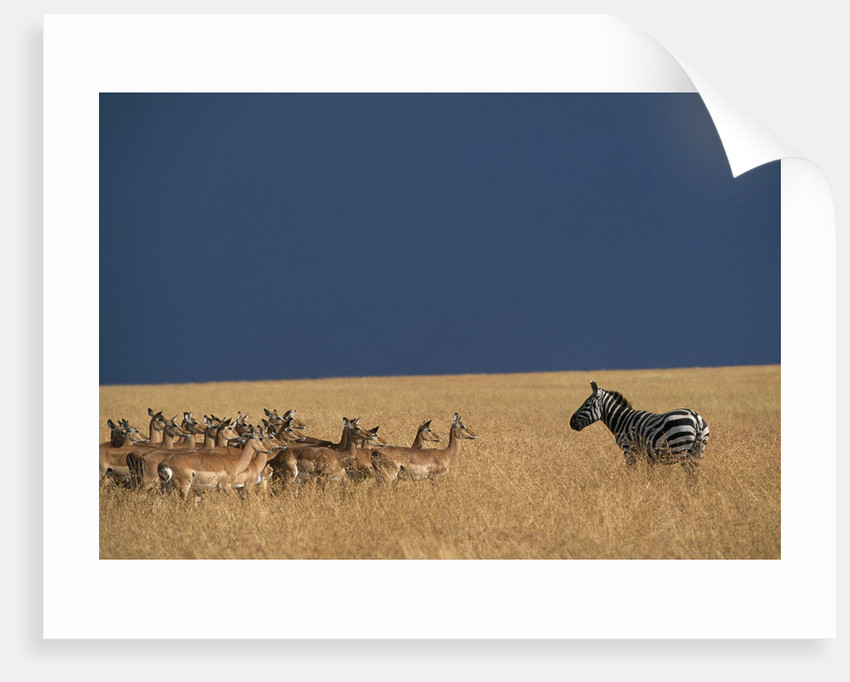 Herd of Impala Facing a Zebra on Savanna by Corbis