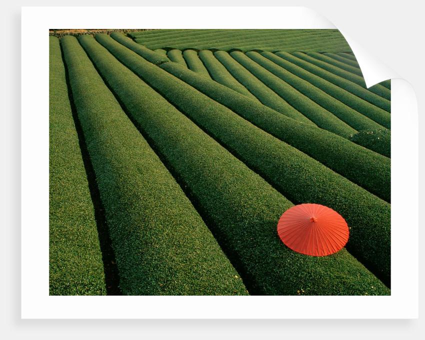 Umbrella in Tea Fields by Corbis