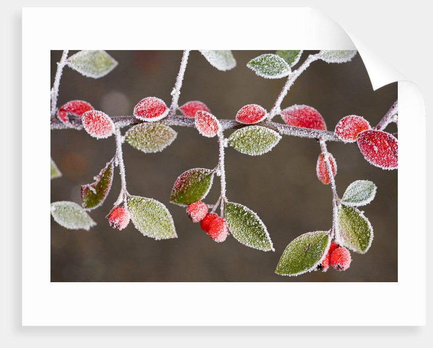 Frost-Covered Branch by Corbis
