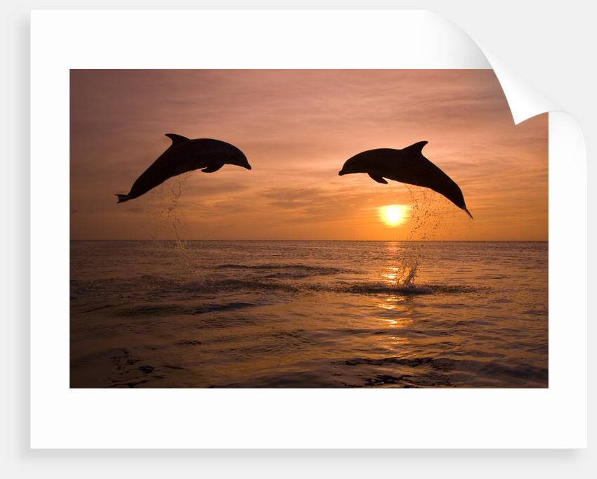 Bottlenosed Dolphins Leaping at Sunset by Corbis